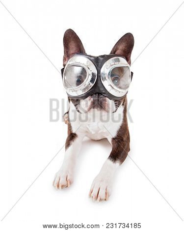 boston terrier with silver goggles on studio shot on an isolated white background