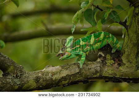 Colorful Veiled Chameleon Eating Home Cricet In Tree Branch. Hunter And Prey In Nature Image With Bl