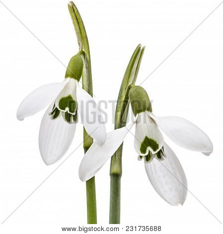 Two Flower Of Snowdrop Isolated On White Background