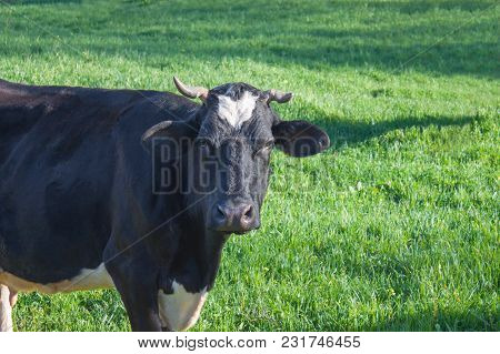 Black And White Spotted Cow With Crooked Horns And White Spot Among The Green Grass In Good Summer D