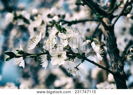 Springtime Background. Soft Focus Image Of Spring Flowers Blossom. Beautiful Nature Scene With Bloom