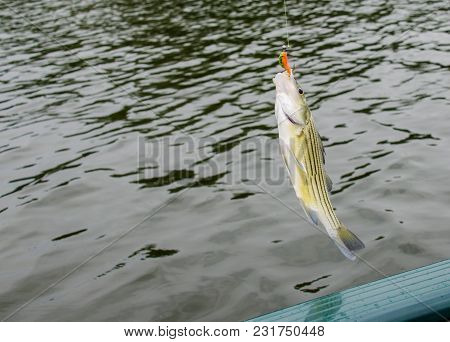 Freshwater Fishing For Striped Bass.  Fish Caught On The Line. Recreation Of Fishing For Fun And Rel