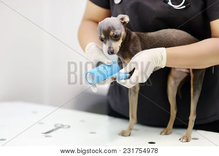 Female Veterinarian Doctor During The Examination In Veterinary Clinic. Little Dog Terrier With Brok