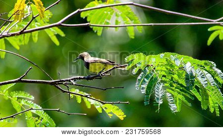 Spider Catcher Bird With Hooked Beak Perched On Branch