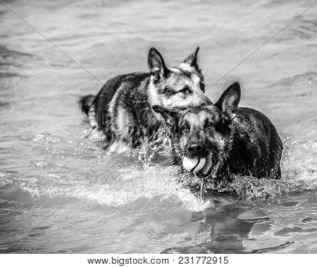 A German Shepherd Brings A Ball Back Out Of The Water With A Second German Shepherd In Pursuit. Blac
