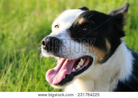 The Dog Stuck Out His Tongue. Portrait Of A Blessed Pet.