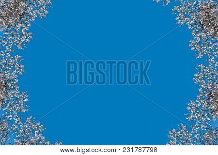 Beautiful White Flowers With Purple Stamens On Brown Branches On The Blue Background. Abstraction. F