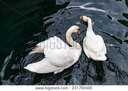 Graceful White Swans Swimming In Lake Geneva, In Lausanne City Harbor