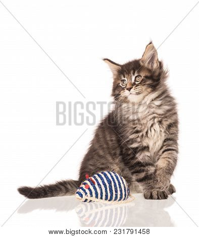 Maine Coon Kitten With Toy Mouse Isolated Over White Background