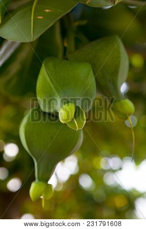 Fruit Of An Exotic Thai Plant On A Branch. Nature.