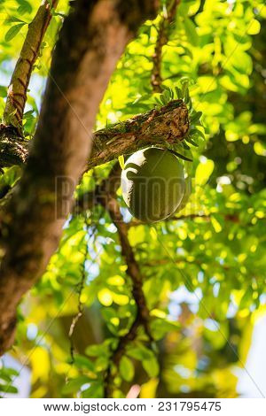 Exotic Passion Fruit Growing On The Vine In Brasil