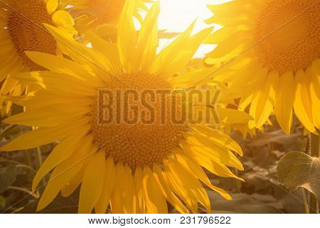 Yellow Sunflower Field Against Sunlight. Agricultural Concept.