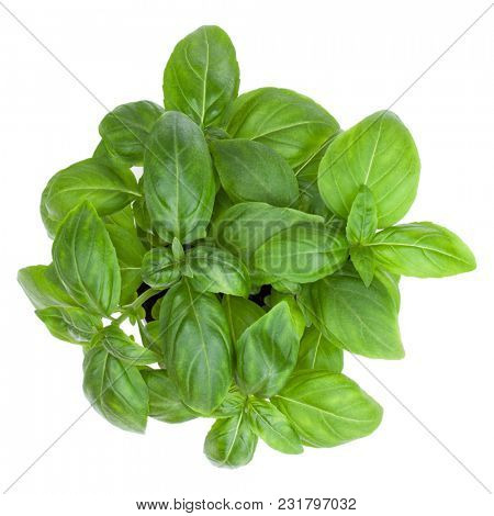 Fresh sweet Genovese basil bouquet isolated on white background cutout. Top view.
