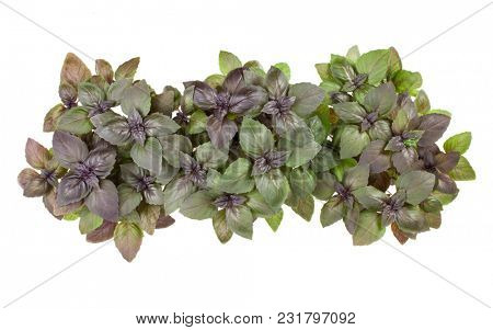 Varieties of basil  border arrangement isolated on white background cutout. Top view.