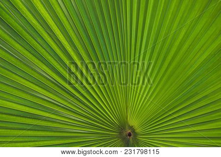 Green Footstool Palm Leaf Through Which The Sun Shines Through.