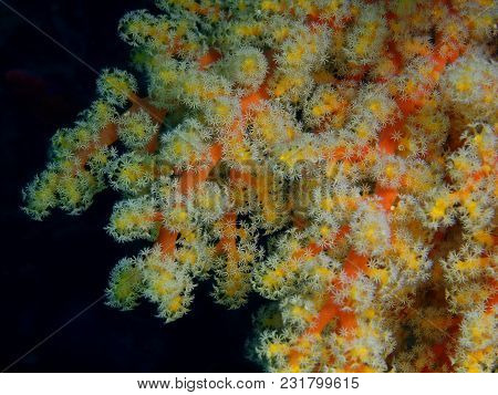 The Amazing And Mysterious Underwater World Of The Philippines, Luzon Island, Anilаo, Soft Coral