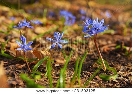 Scilla Bifolia Flower, Known As The Alpine Squill Or The Two-leaf Squill