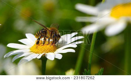 Bee on a daisy flower
