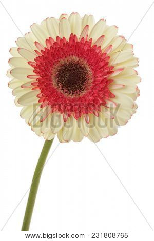 White and red gerbera flower isolated on white.
