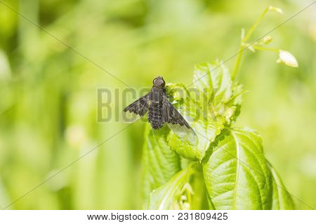 Black Fly Hemipenthes Morio On Green Blurred Background