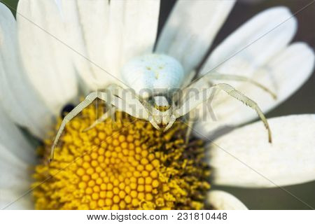White Flower Crab Spider Misumena Vatia Sits On Daisy Flower And Waits For Prey, Top View