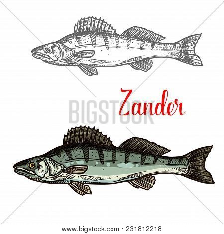 Zander Fish Sketch Icon. Vector Isolated Symbol Of Zander Fish Freshwater Species Of Perch For Seafo