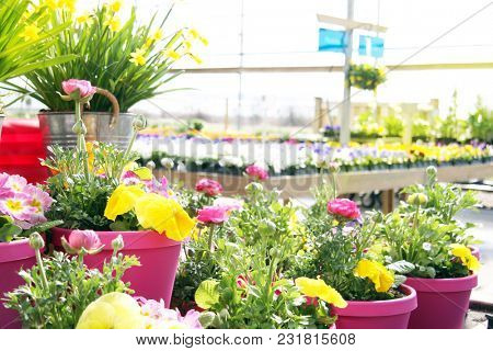 Garden nursery center filled with buttercups, daffodils and pansy flowers in the spring.