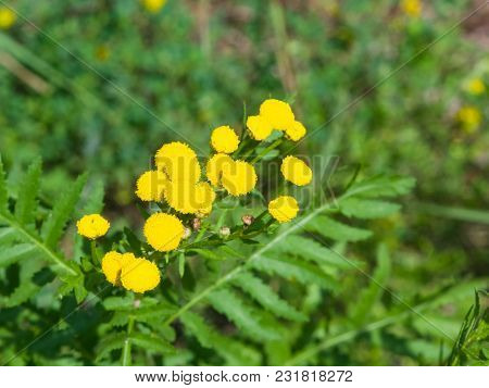 Blooming Common Tansy Or Tanacetum Vulgare, Golden Buttons, Macro, Selective Focus, Shallow Dof.
