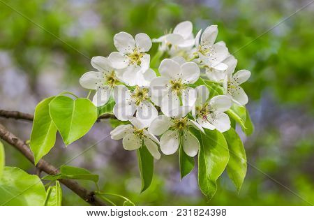 Branch Of Pear Tree  With Flowers And Fresh Leaves Closeup At Selective Focus