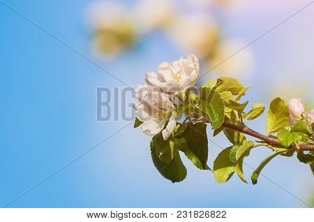 Spring Background. Spring Flowers Of Blooming Garden Apple Tree On The Background Of Blue Sunny Sky.