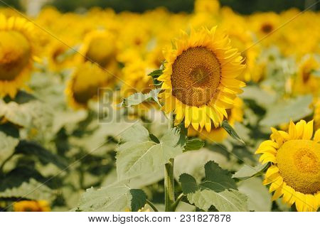 Agriculture Concept. Field Of Sunflowers. Close Up Of Sunflower Against A Field