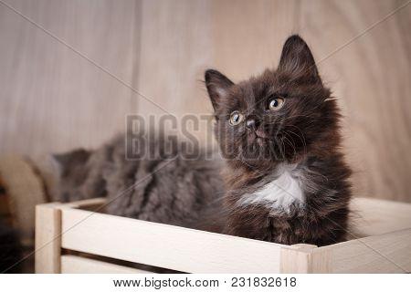 Purebred Cats. Purebred Kitten Kurilian Bobtail On A Wooden Box