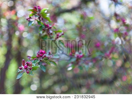 Spring Background With Apple Or Cherry Tree Blooming Branch With Gentle Pink Flowers, With Blur Boke