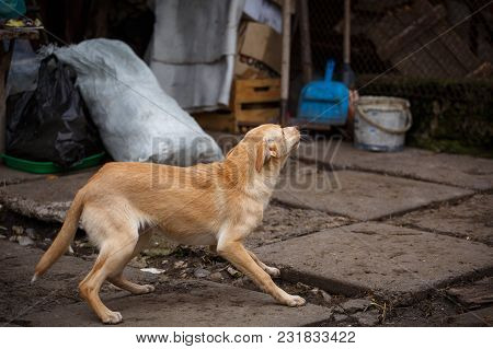 The Redheaded Homeless Dog Runs Around The Yard In The Village. Dog Without Breed.