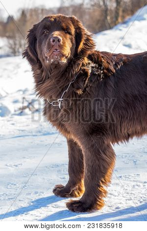 Newfoundland Brown Dog Looking Around In Winter Sunny Day