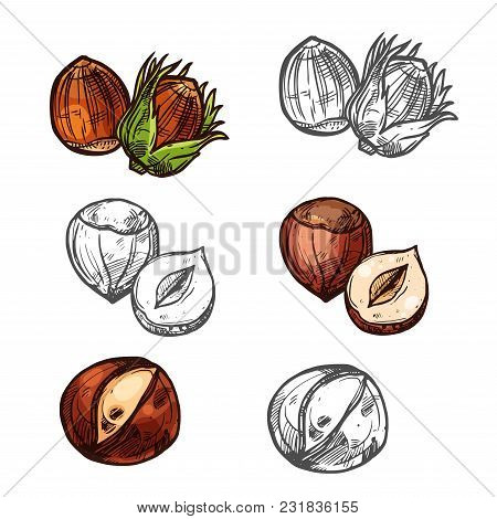 Hazelnut Nuts Color Sketch Icon.s Vector Isolated Botanical Design Of Hazel Nut Or Cobnut Or Filbert