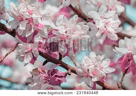 Flowering Branches Of Apple-tree In A Spring Orchard, Macro. Photo Tinted, Selective Focus
