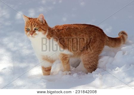 Red And White Cat Standing In Snow, At Sunlight