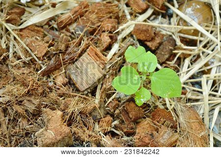 Young Indian Copper Leaf Tropical Herb For Feeding And Antidote To Cat  Growth On Spathe Ground