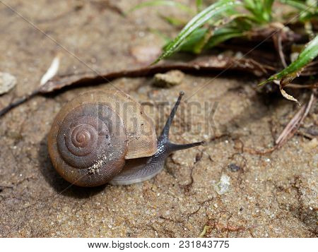 Brown Snail, Which Its Slime Is Used To Make Facial Mask, With Spiral Shell Crawl In The Garden On T
