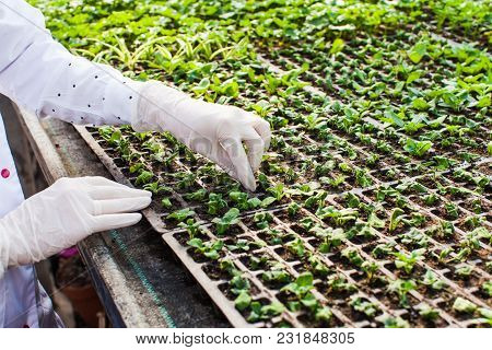 Woman Biologist Hands Reseaches Sprout In Greenhouse