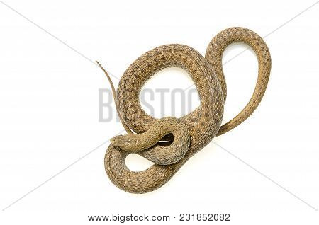 Harmless Snake, Without Poison, Photographed In Controlled Conditions On White Background