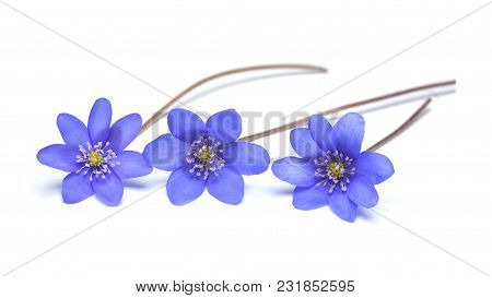 Hepatica Nobilis Flower, Known As Liverleaf Isolated On White