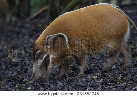 Close-up Photo Of A Red River Hog Feeding In The Woods