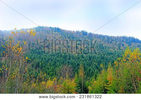 Hill Covered With Spruce. Forest Landscape. Wild Green Forest With Fir-trees. Coniferous Forest. Vie