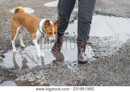 Basenji Dog Hates Walking Through Rain-water Pools On The Spring Street