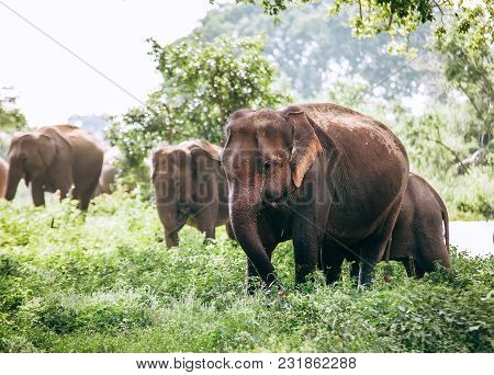 Eating Elefants Family Near The Pond In National Nature Park Udawalawe, Sri Lanka