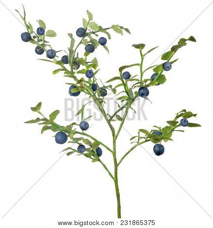 blueberry branch isolated on white background