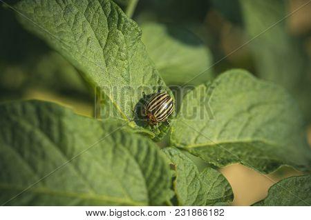 Colorado Potato Beetle, Harvest. Pests Destroy Crop, Insecticide, Bug. Colorado Beetle On Potato Lea