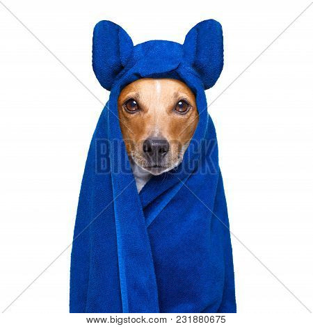 Jack Russell Dog In A Towel  Not So Amused About That , With Blue Colour,  Having A Spa Or Wellness